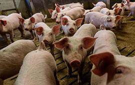 Tribunal Ambiental anuló sanción de la SMA contra plantel de cerdos en Paine
