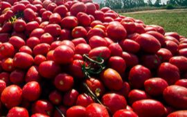 Las Otras Vidas del Tomate