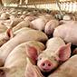 Primera norma de olores en Chile establecerá límites a planteles porcinos