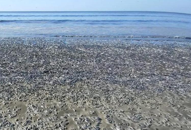 Confirman que mortandad de peces en Arauco fue causada por surgencia costera